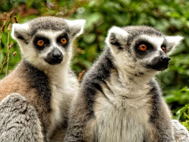 lémurien espèce endémique