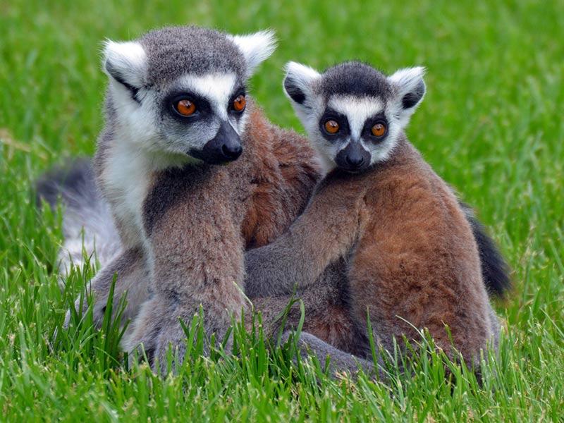 protection habitat du lémurien