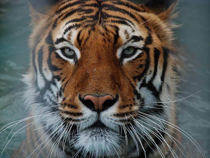 comment protéger le tigre