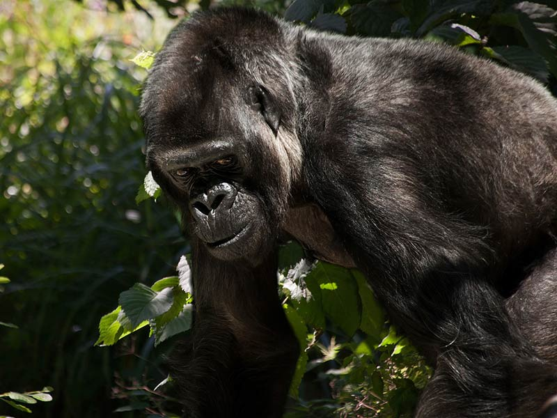 gorille menace déforestation
