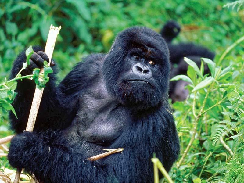 gorille en voie d'extinction