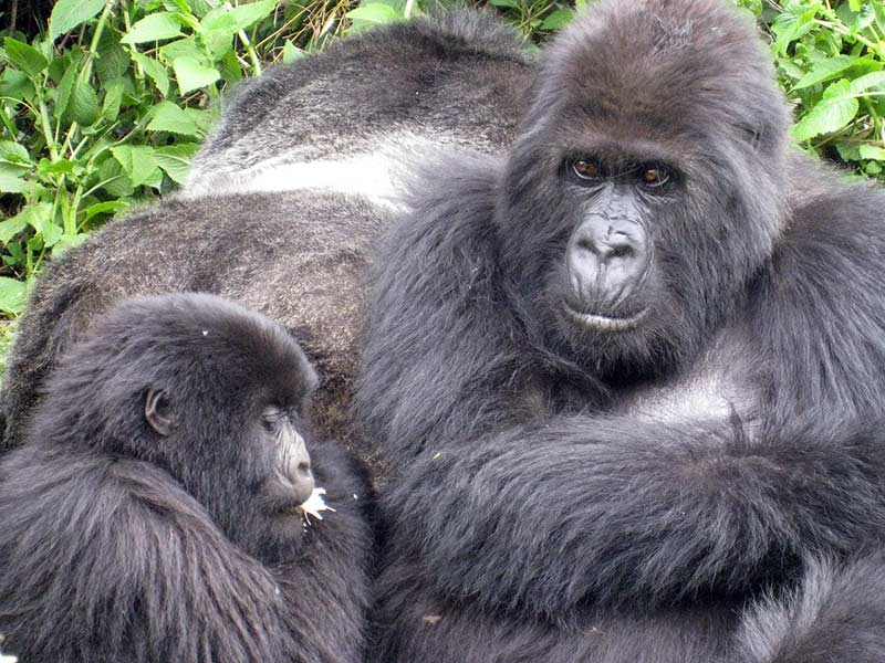 habitat du gorille