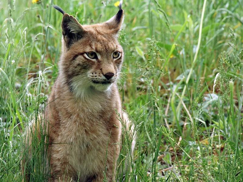 lynx menaces