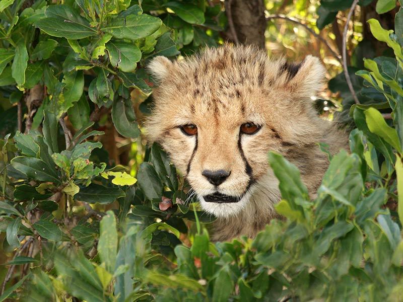 menace jeune guépard