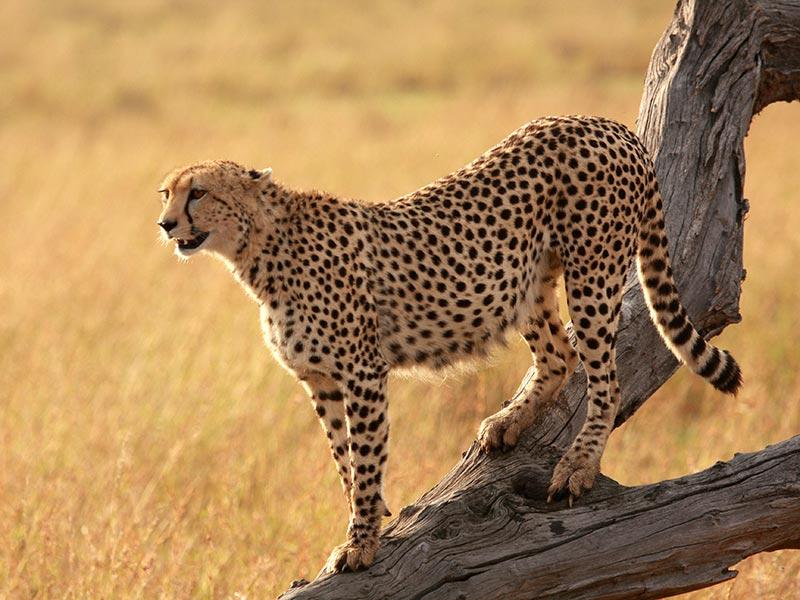 protection grands félins : guépard