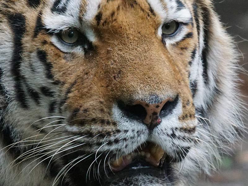 protection du tigre