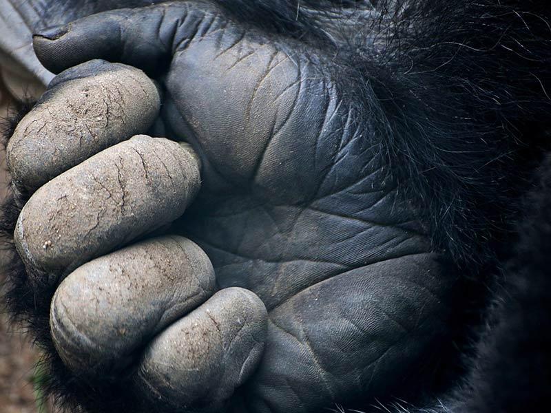 protéger les gorilles