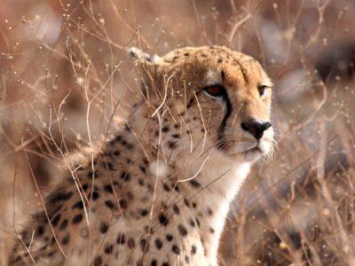protéger guépard