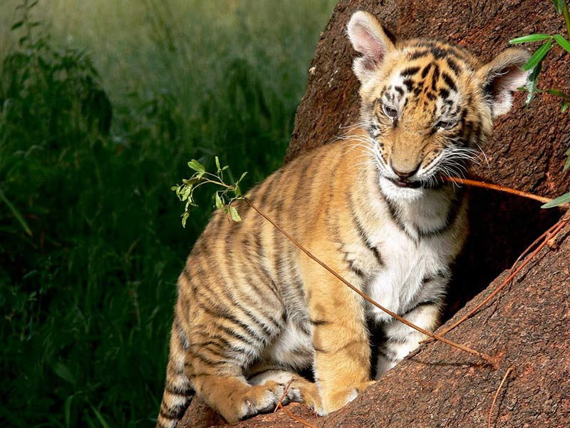 tigre en danger