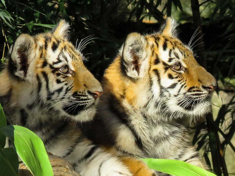 tigre menacé