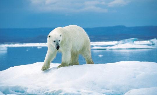 réchauffement climatique ompe ours polaire