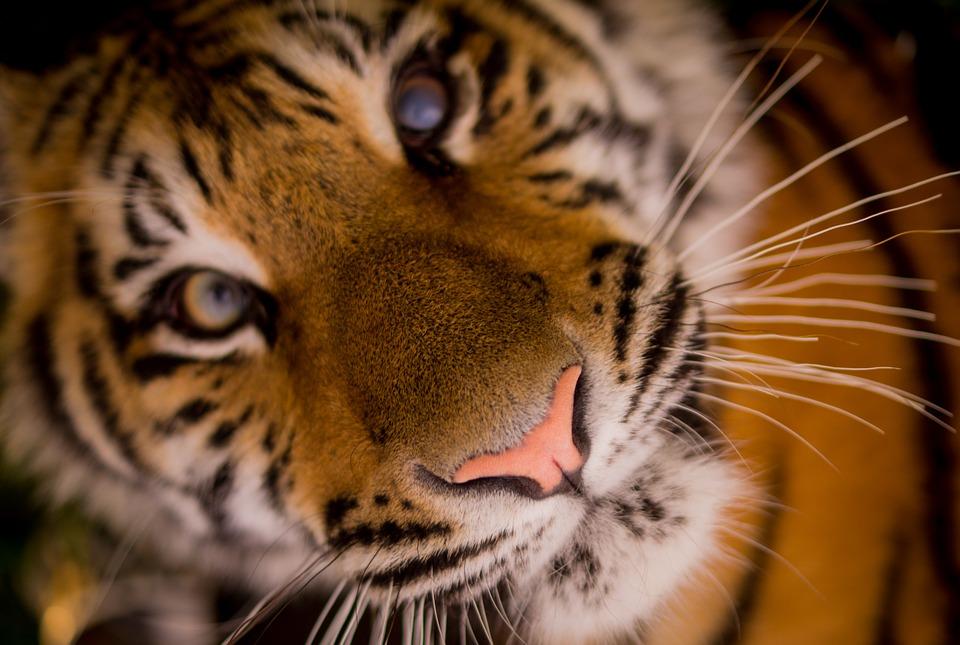 animaux-disparition-tigre