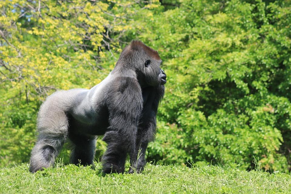 disparition-gorilles