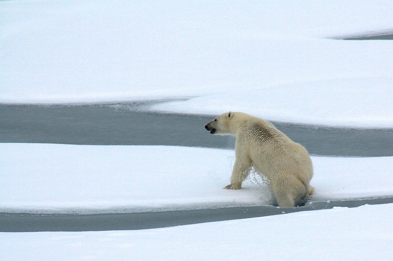 ours-polaires-meurent-faim