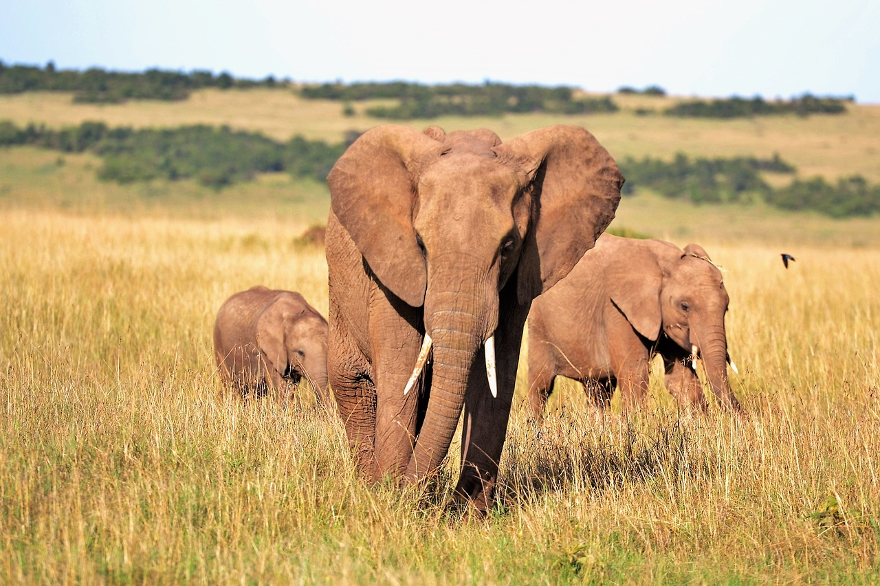 elephants-ompe
