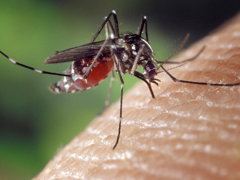 chikungunya moustique