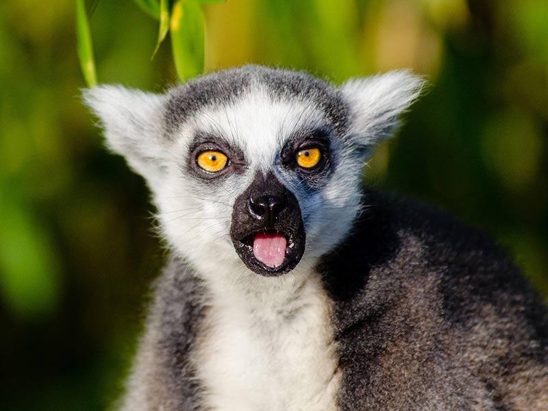 protection biodiversité lémurien