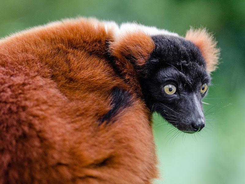 sauvegarde lémurien
