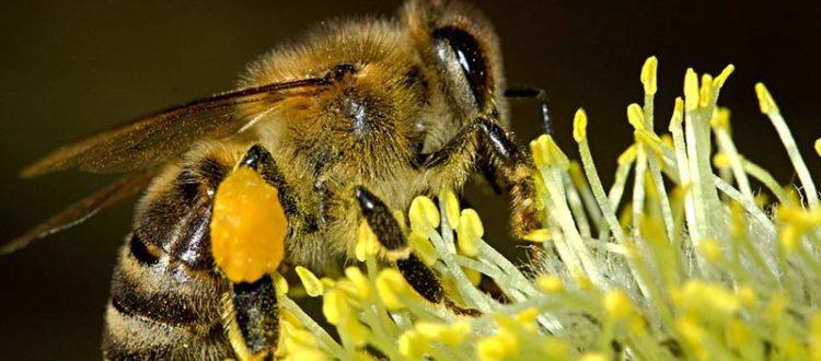 abeille butiner nectar