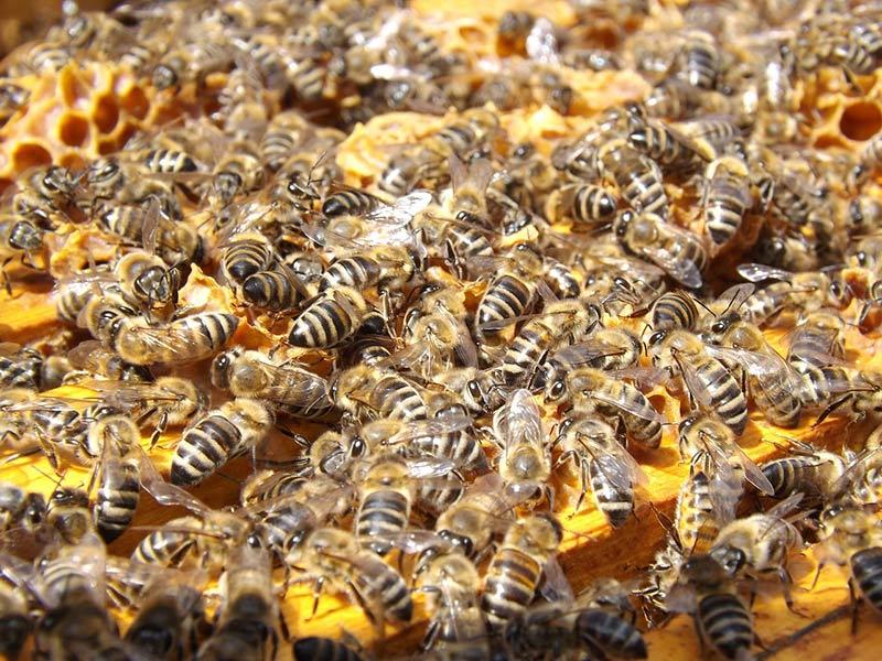 abeilles essaim ruches