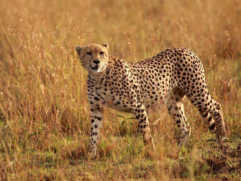 animaux en danger : guépard