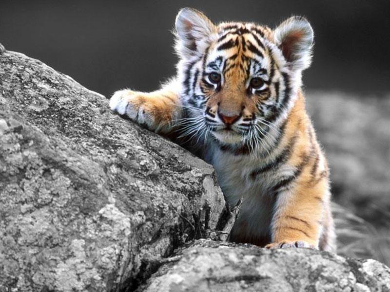 bébé tigre protection