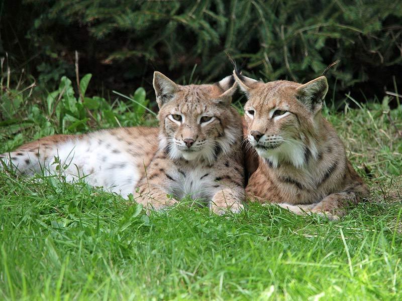 comment protéger le lynx