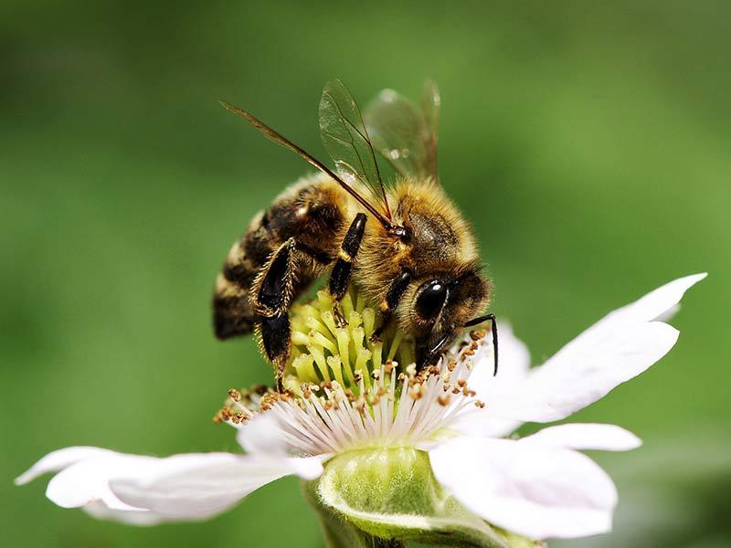 déclin des pollinisateurs