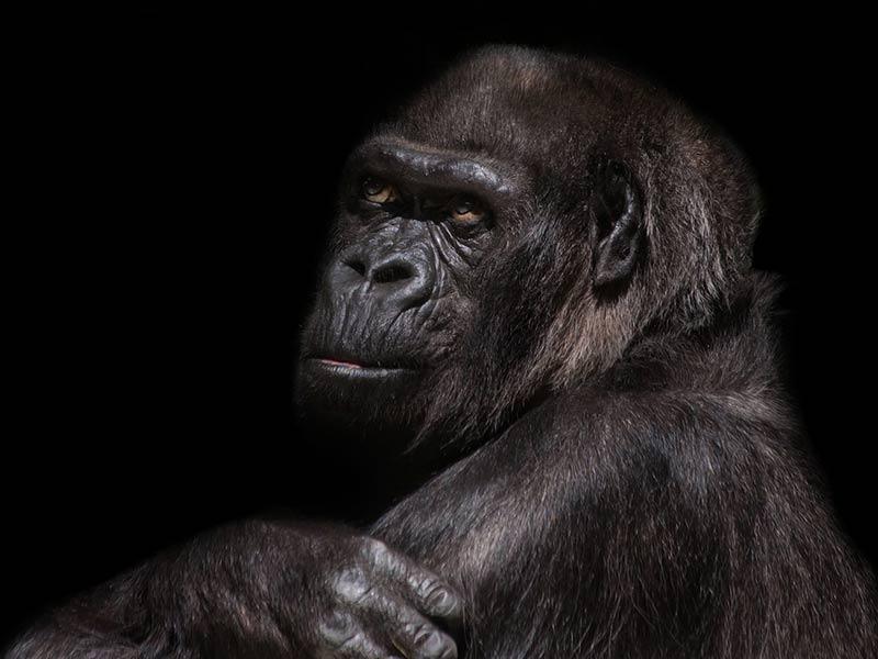 gorille afrique