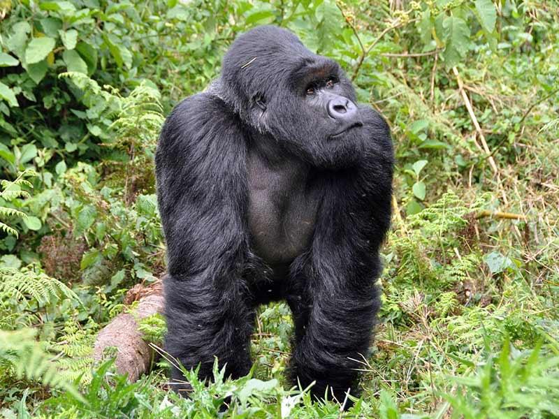 gorille en danger