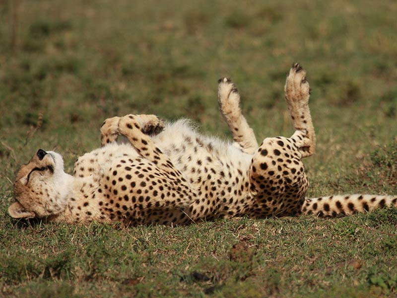 Protecting the cheetah | OMPE | Organisation Mondiale pour