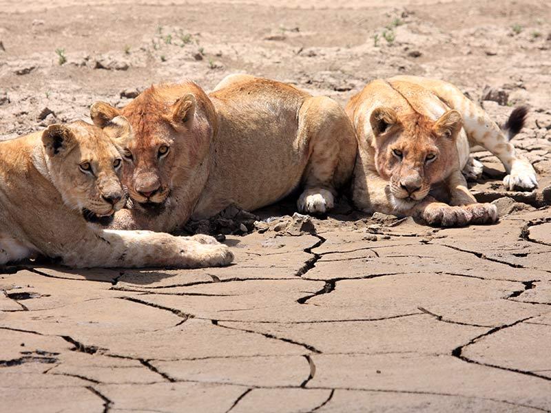 lions défense des animaux sauvages