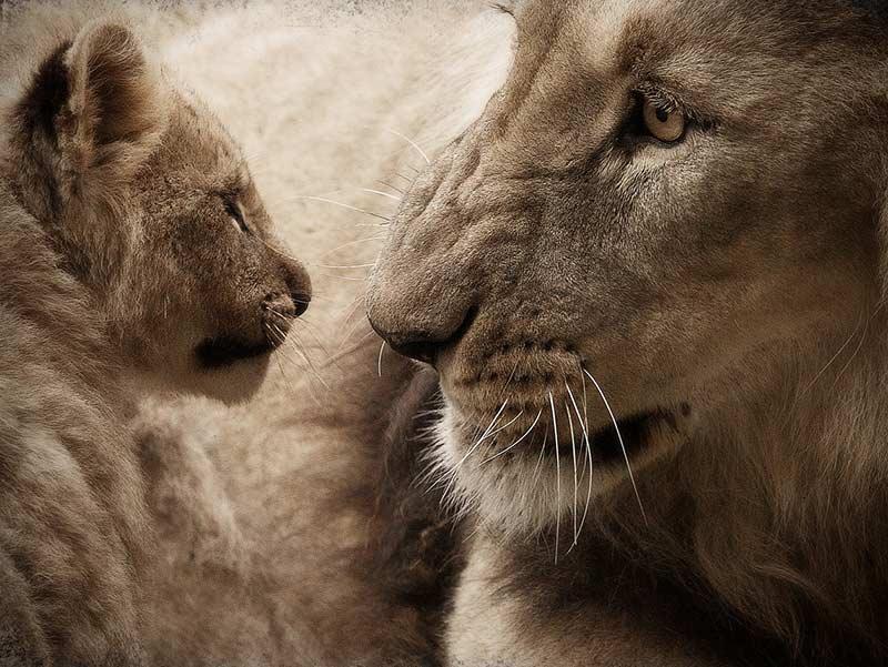 lions en danger
