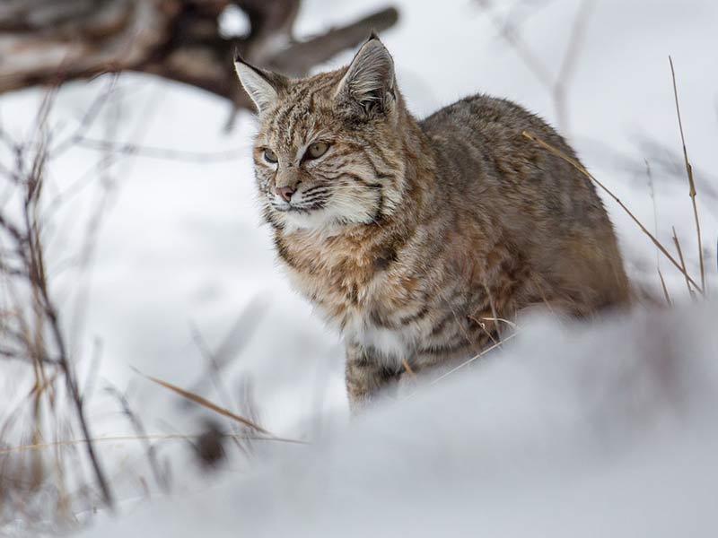 lynx dans la neige en hiver