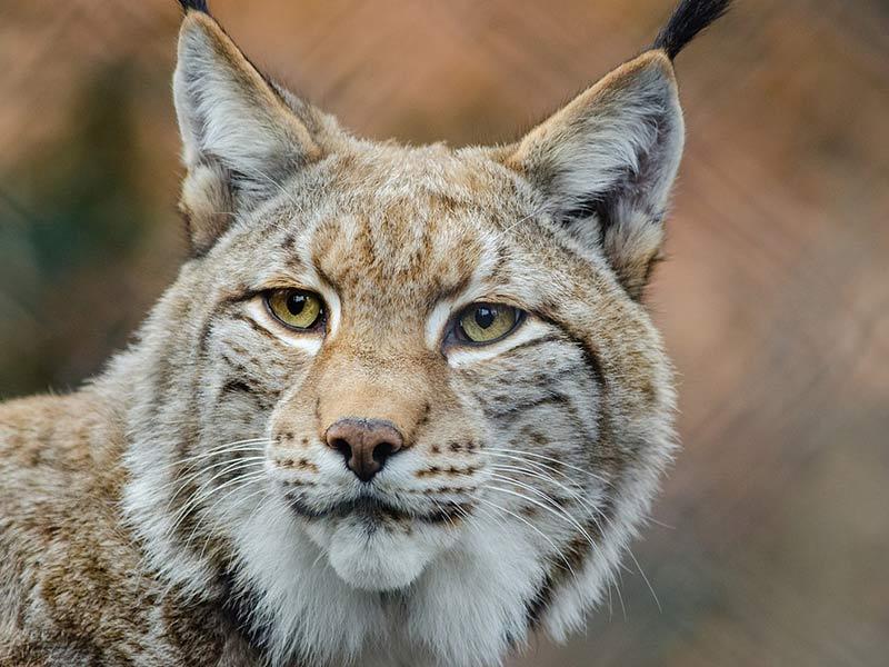 protection du lynx