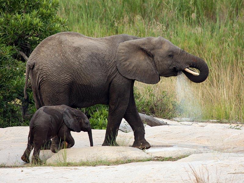 protéger les éléphants du braconnage