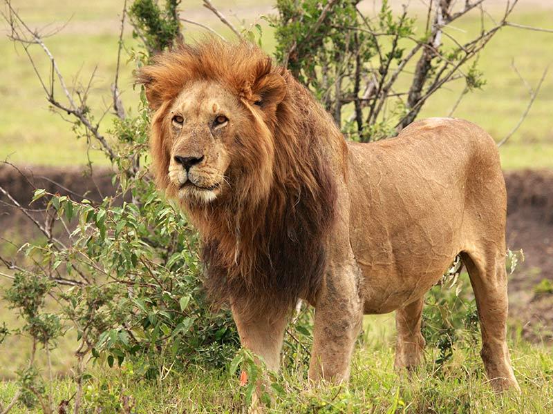 protéger le lion roi des animaux