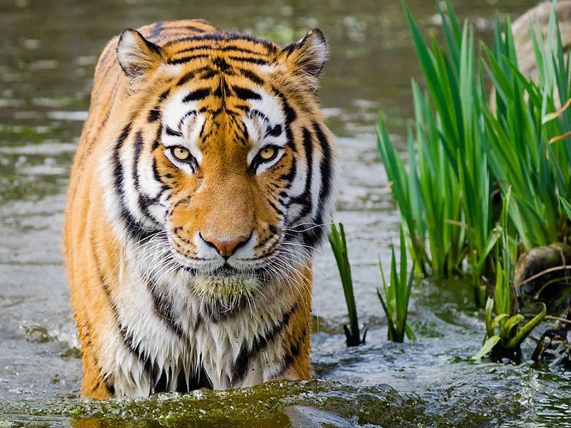 sauver le tigre