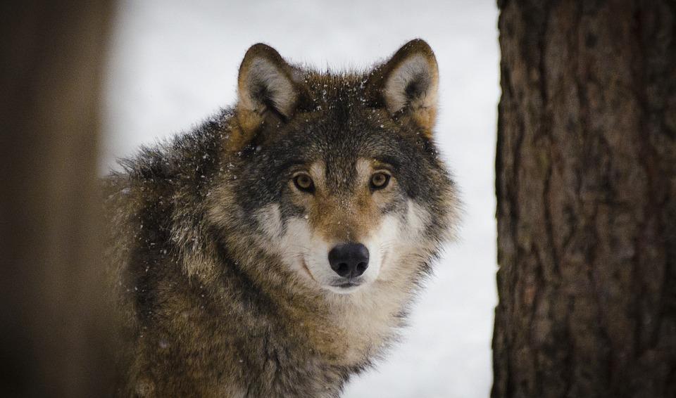 chasse-loups-royal
