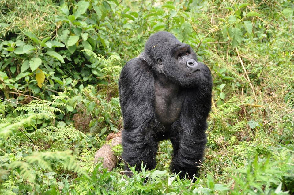 gorilles-danger-extinction