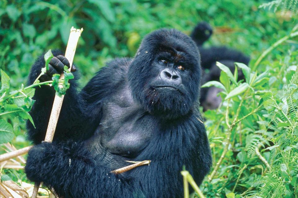 singes-gorilles-disparition