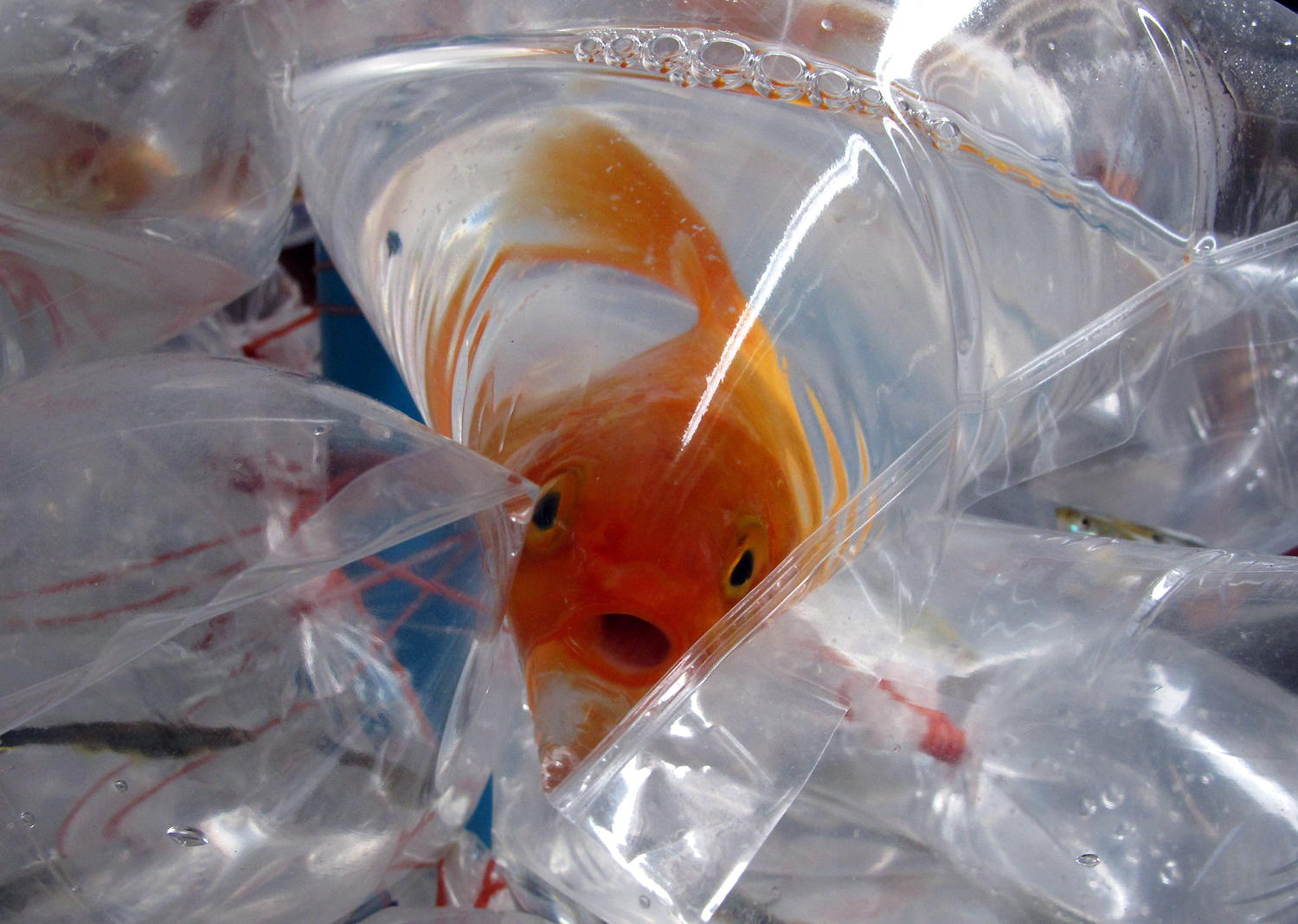 epa02641379 An aquarium fish opens its mouth wide as it swims in a plastic bag, tied to many other fish in water-filled plastic bags that are attached to a stick and for sale, by a Thai street seller (not pictured), in Bangkok, Thailand, 19 March 2011. Each fish costs about 50 euro cents. Since the 1970s, fisheries have skyrocketed to unprecedented levels of production and 70 per cent of the world's wild fish species are either fully exploited or depleted. EPA/BARBARA WALTON