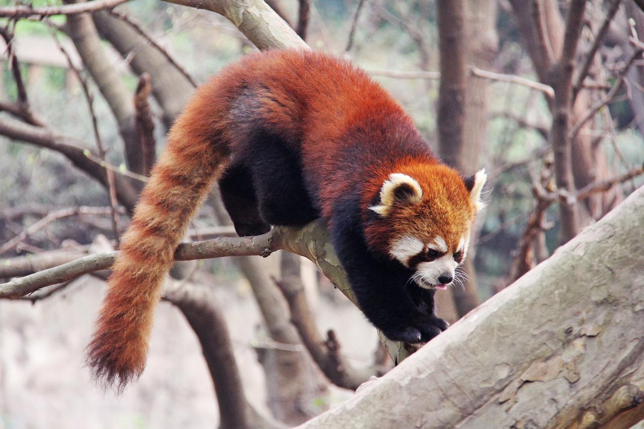 pandas-roux-braconniers