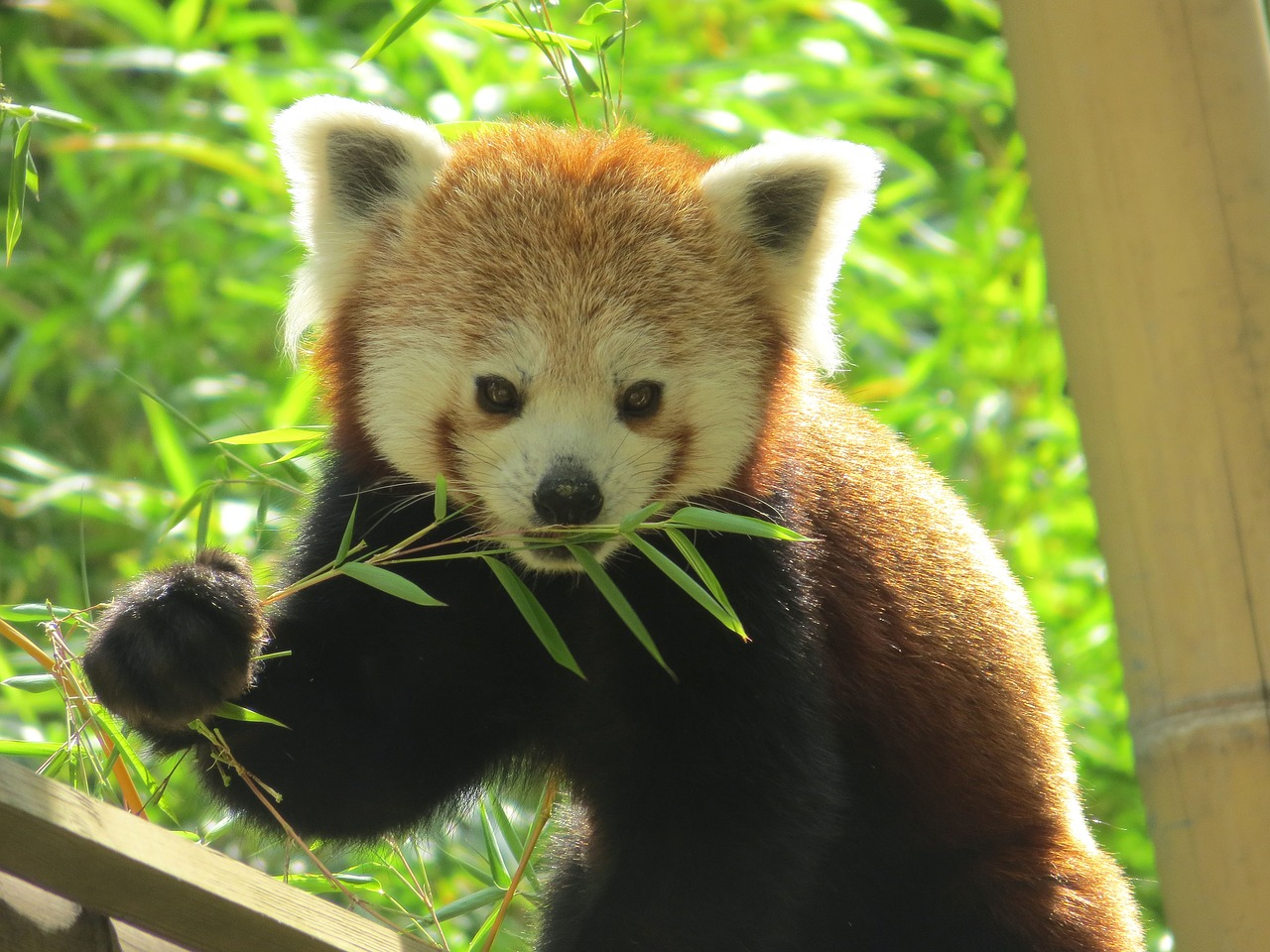 pandas-roux