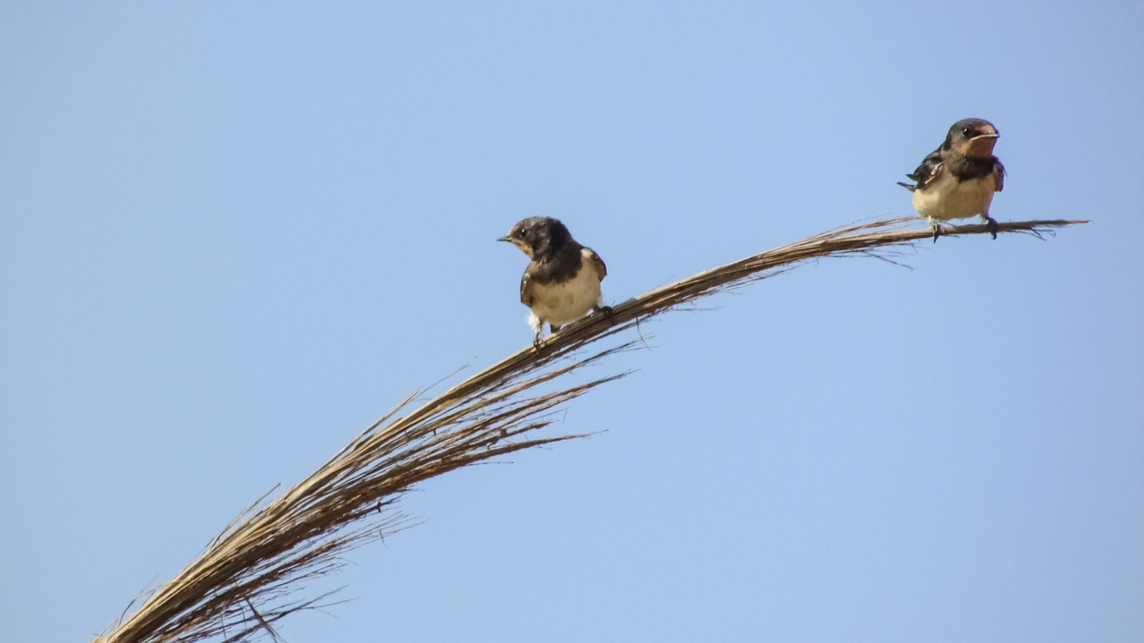 migration-hirondelle