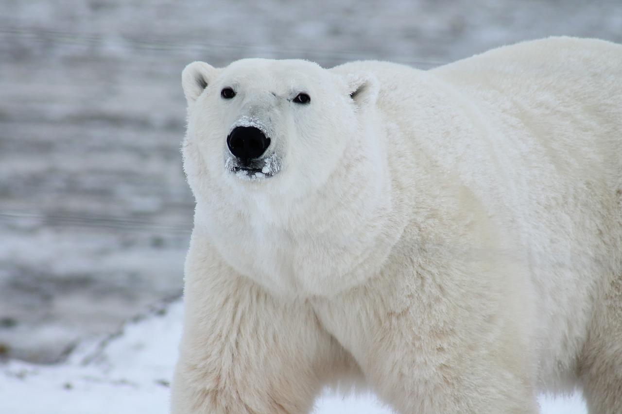 fonte-des-glaces-ours-polaires