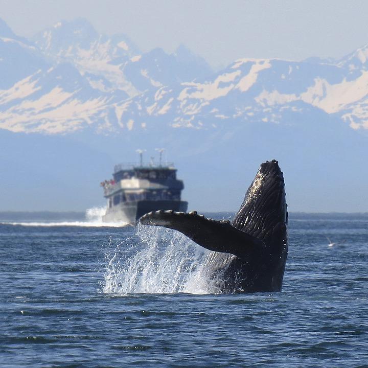 chasse-a-la-baleine