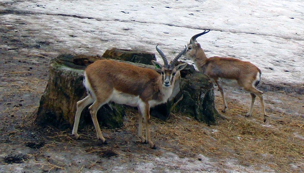 antilopes-tibet